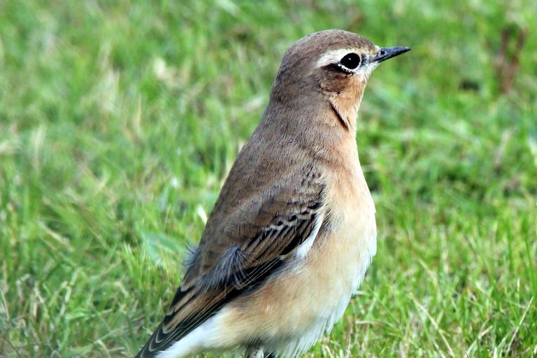 Wheatear birds
