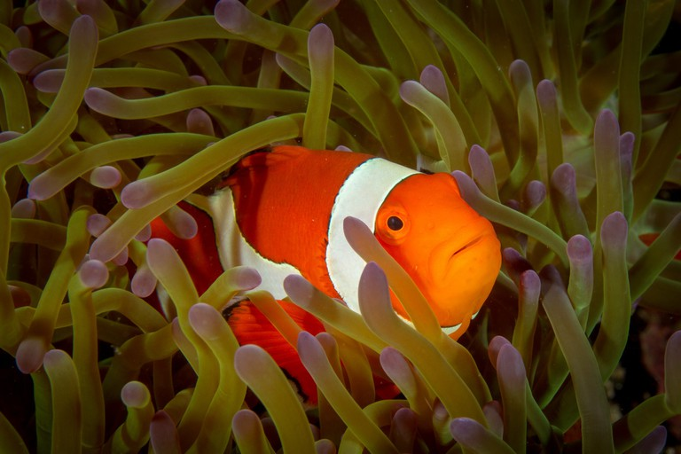 A clownfish in its home