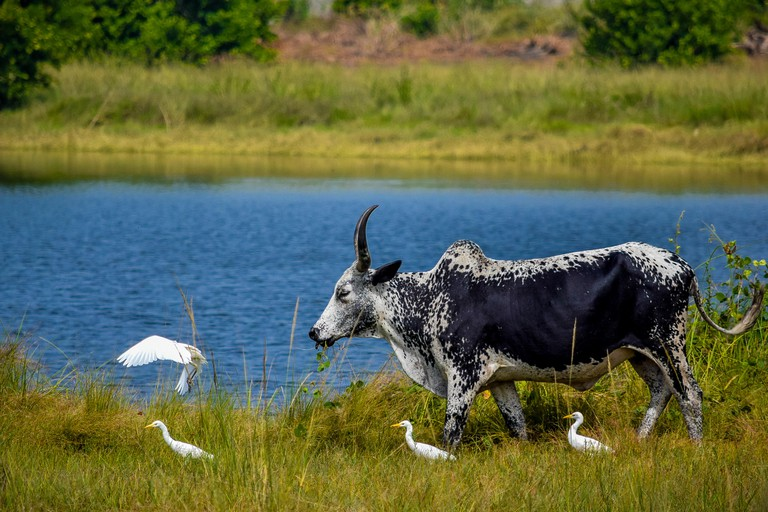 A cow grazing and accompanied by Egrets within the same ecosystem along Lekki free trade zone road in Lagos, Nigeria.