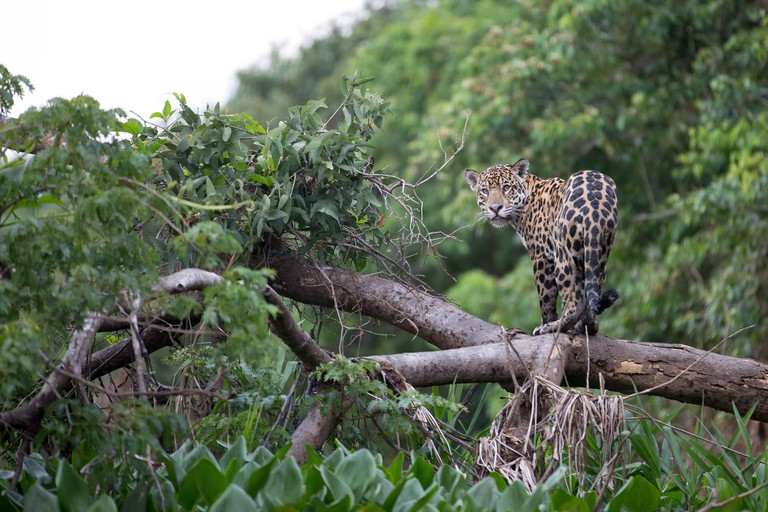 Costa Rica Wildlife: Panthera onca.