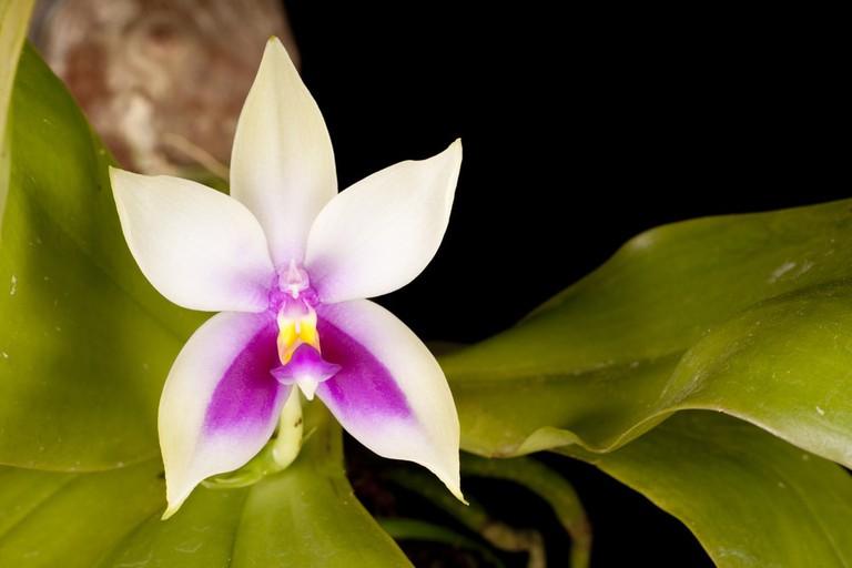 Wild Phalaenopsis bellina Normah