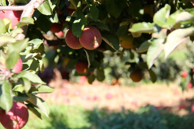 Bishop's Orchards Apples