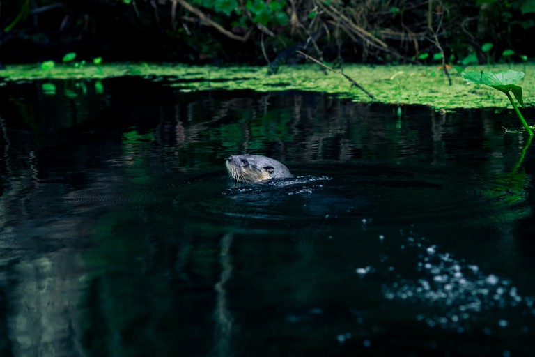 North American river otters can often be spotted along the waterways of Wekiwa Springs State Park.