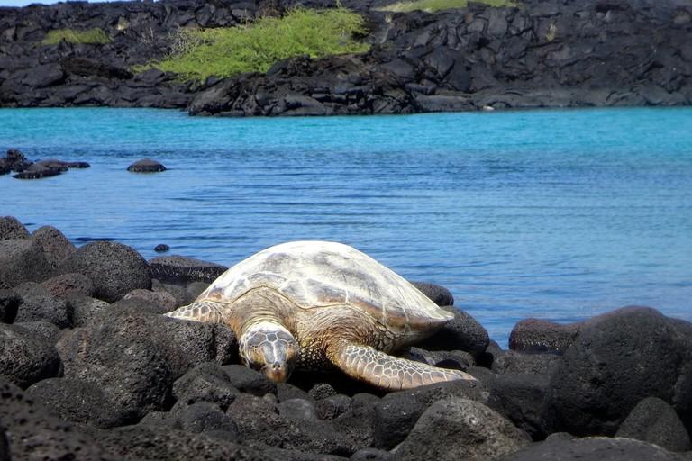 Hawaiian Green Sea Turtle basking at Kīholo Bay | © Erik Wilde/Flickr