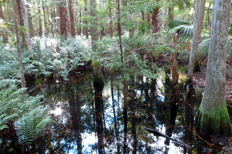 Cypress groves abound at Shingle Creek Regional Park, with aquatic wildlife found throughout.