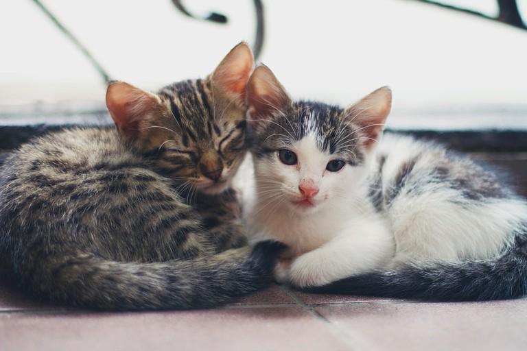 https://pixabay.com/en/kitten-cat-animal-house-pet-2560345/