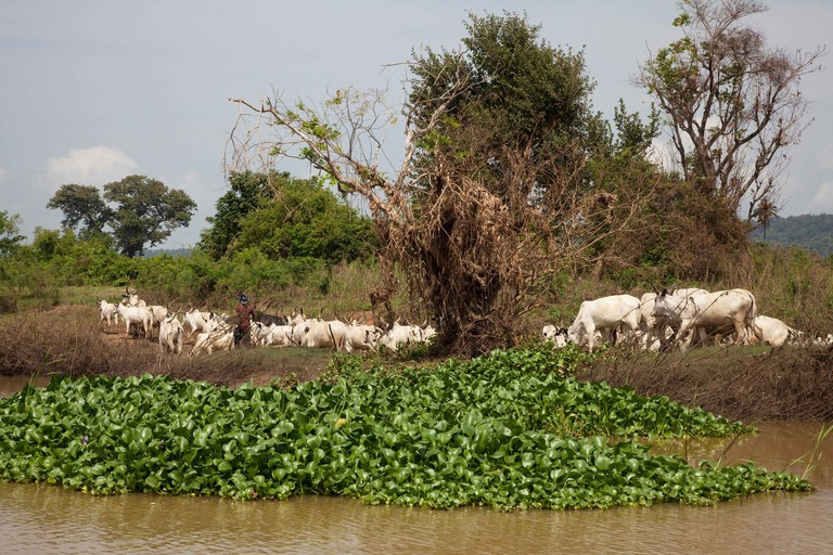 Herd of cattle on the banks of the River Niger, Kogi, Nigeria