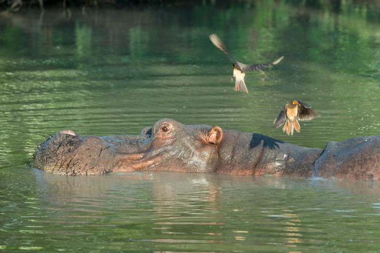 Africa, South Luangwa National Park. Hippopotamus in pool (WILD: Hippopotamus amphibius) with Yellow-billed oxpeckers.