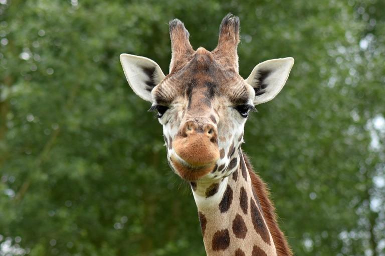Giraffe | © mitzy123/Pixabay