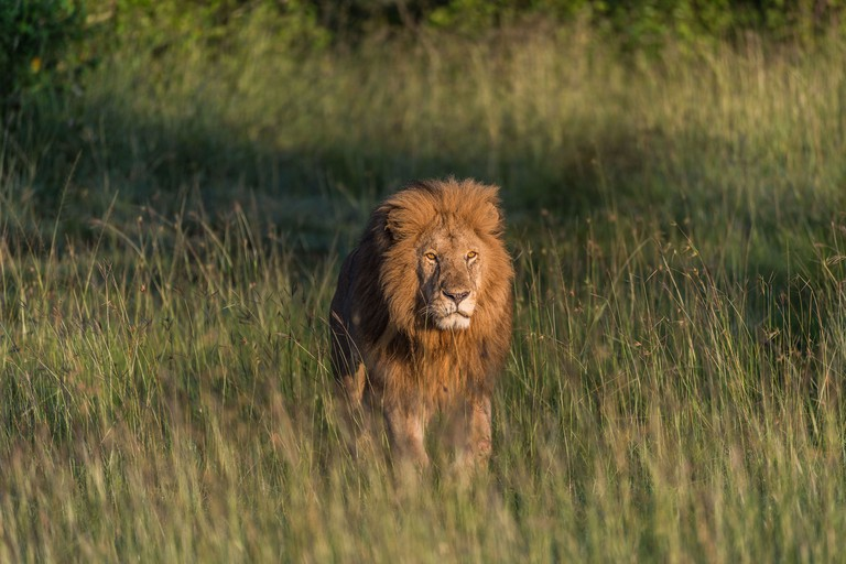 Male Lion on the plains of the Masi Mara