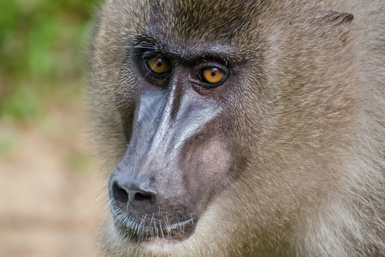 Portrait of drill monkey in rain forest of Nigeria.
