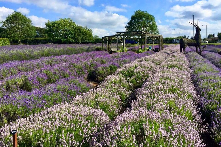 Norfolk Lavender Fields