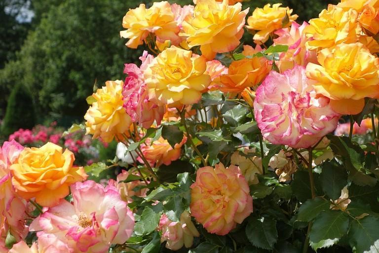 roses-2773382_960_720