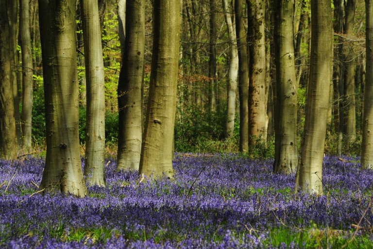 Bluebells in West Woods, Wiltshire, UK