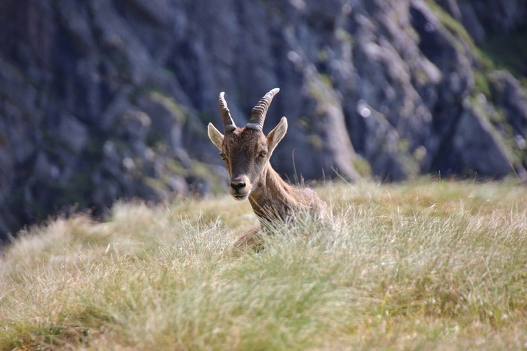 A young steinbock resting on the grass in the Orobie Alps, Lombardy, Italy   © Valenti Renzo/Shutterstock