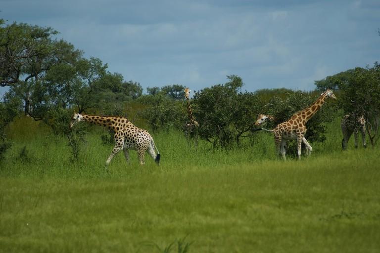 Giraffes at Waza Park
