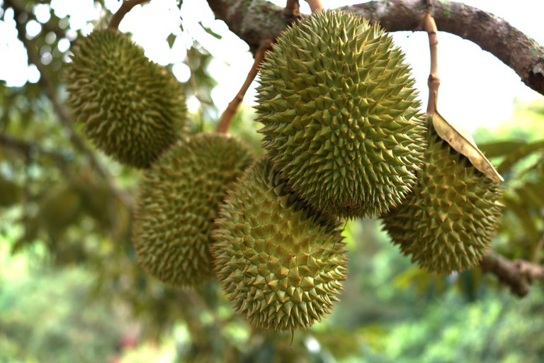 Fresh durian fruit on a tree