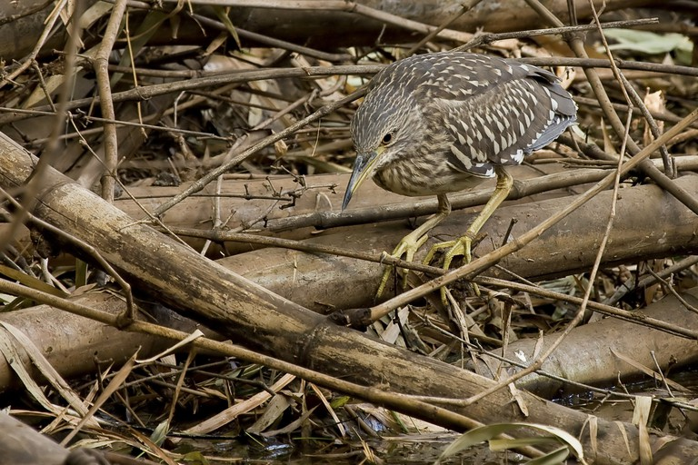 Black-crowned Night Heron juvenile at Abuko Nature Reserve, The Gambia.