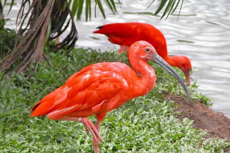 Scarlet ibis at Mangal das Garças, Belem