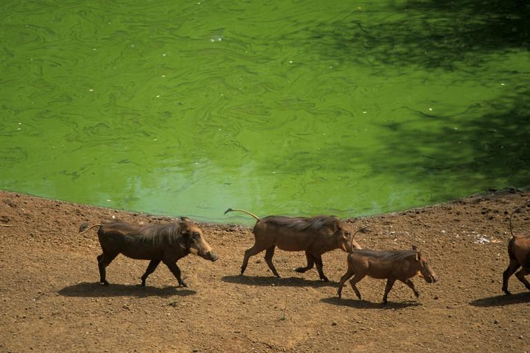 Warthog familly, National park of Niokolo Koba, Senegal, West Africa