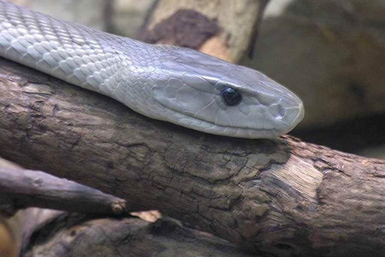 Black mamba, one of Africa's deadliest snakes