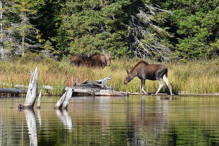 moose_alces_alces_female_and_juvenile_-_algonquin_provincial_park_ontario