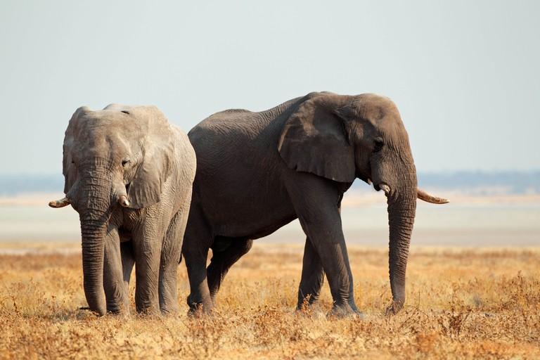 African elephants (Loxodonta africana) on the open plains of the Etosha National Park, Namibia