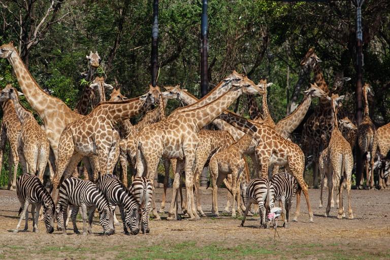 Giraffes and zebras in open zoo Safari World, Bangkok