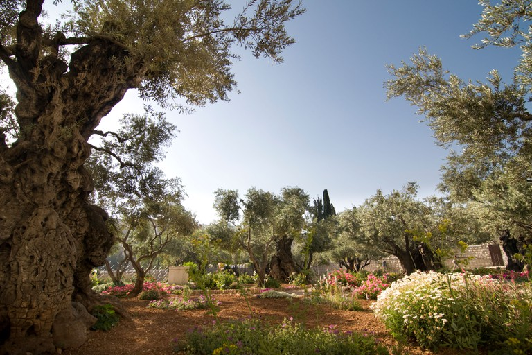 Ancient olive trees in the Garden of Gethsemane, Jerusalem