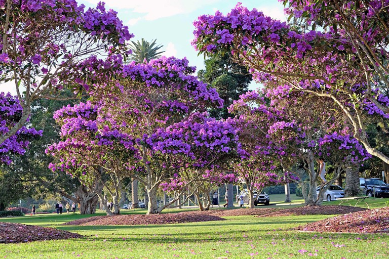 Beautiful flowering Tibouchina trees in sunset light in Centennial Park, Sydney, Australia