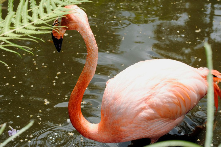 A Caribbean flamingo at Flamingo Gardens Florida