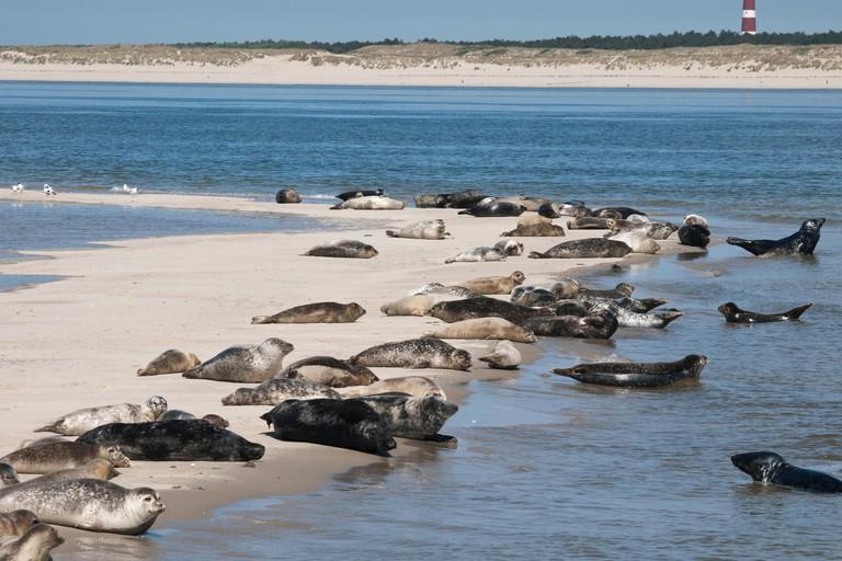 Seals in the Dutch Waddensea
