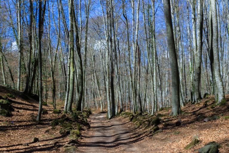 View of La Fageda den Jorda, a forest of beech trees, in Olot, Spain.