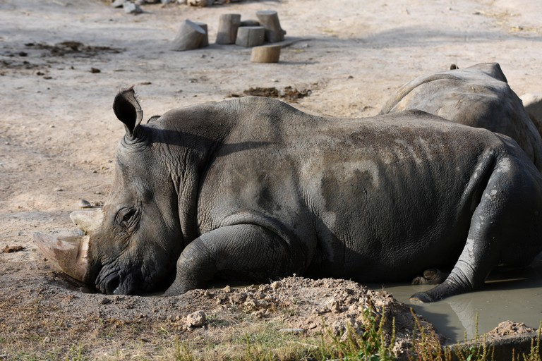A White rhinoceros at Madrid zoo.
