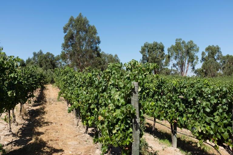 Vineyard in Alentejo region, Portugal.