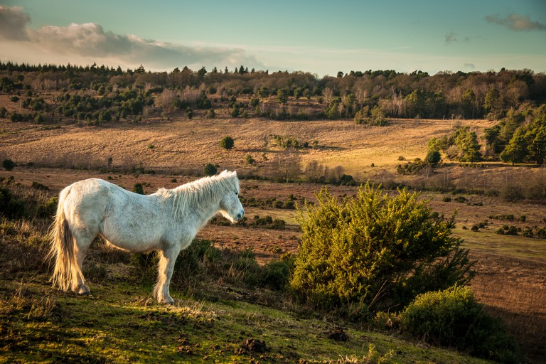 White Wild horse, The New Forest, England