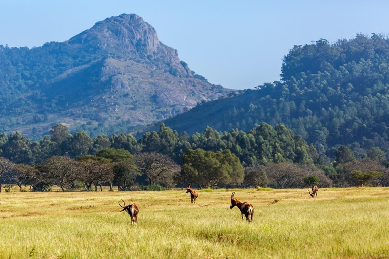 Group of Blesbuck in Mlilwane wildlife sanctuary scenery, Swaziland.