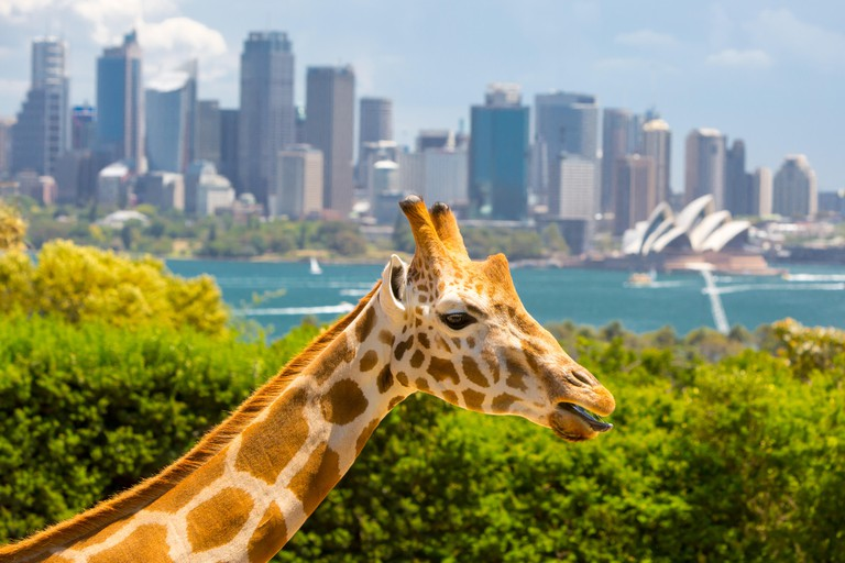 Giraffes at Taronga zoo overlook Sydney harbour and skyline