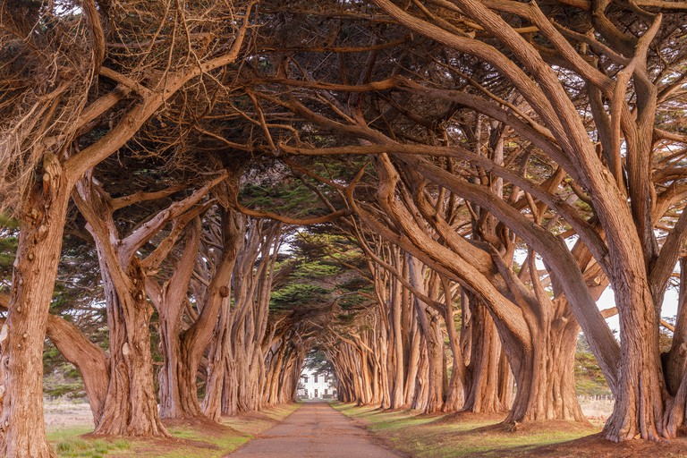 Cypress Tree Tunnel painted in golden light during sunrise