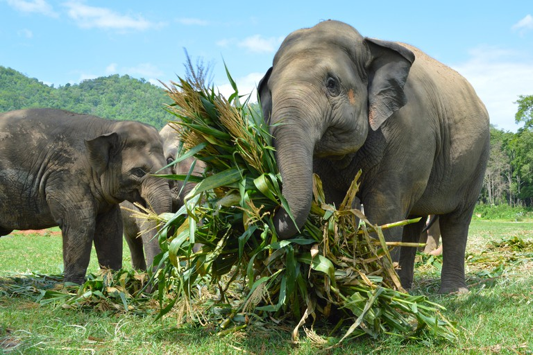 Rescued Elephants eating at the Elephant Nature Park in Chiang Mai, Thailand