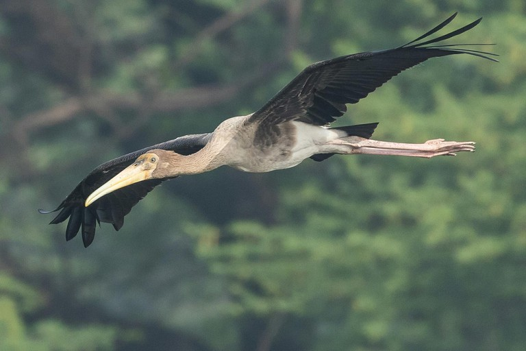Close-up Of Painted Stork Flying At Sultanpur National Park