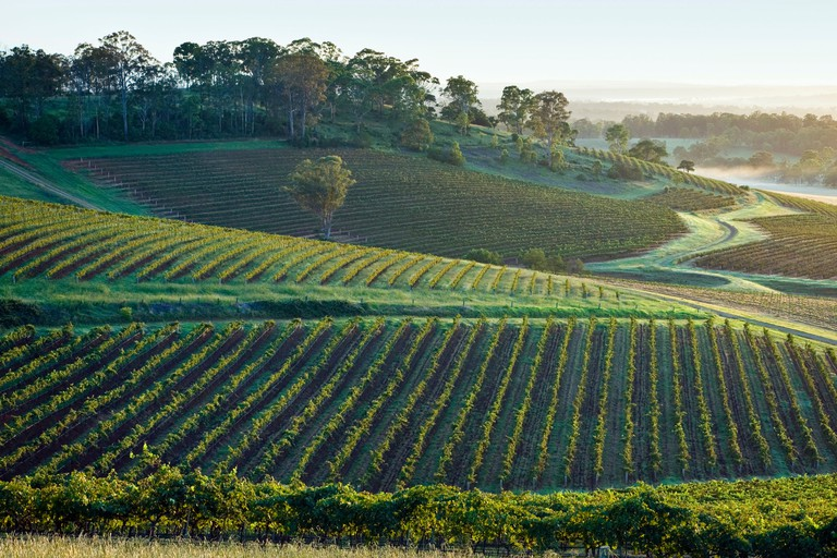 Early morning in the vineyards, Hunter Valley