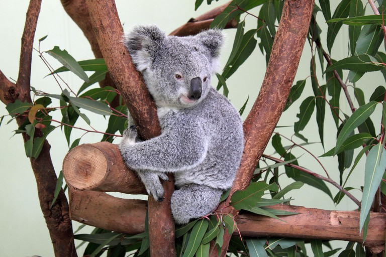 Koala at Featherdale Wildlife Park