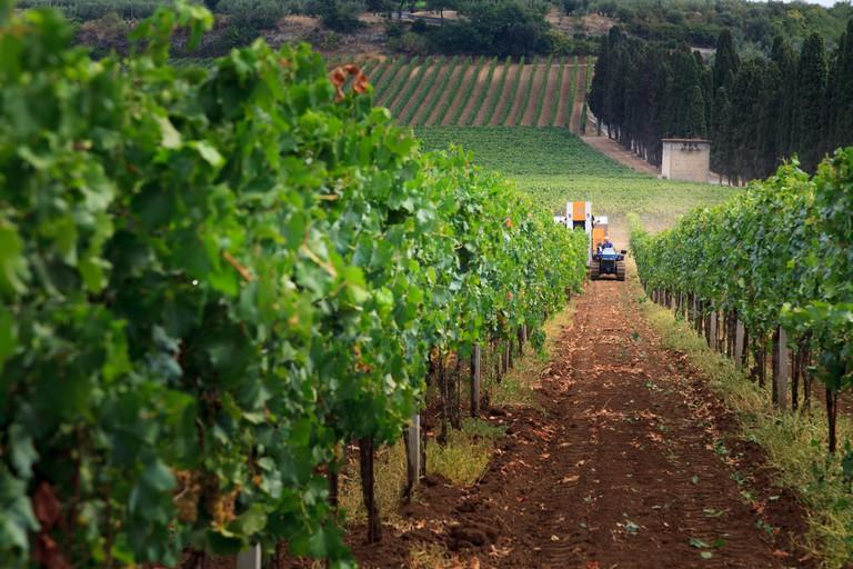 Harvesting the wine grapes in Frascati, Italy
