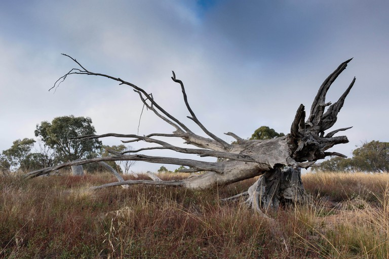 A fallen tree against a moody, foggy sky at the Pinnacle Nature Reserve, Canberra, Australia during a morning of April 2019