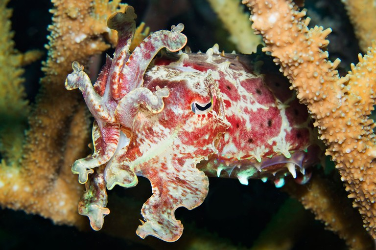 Cuttlefish (Sepia sp.) Milne Bay, Papua New Guinea