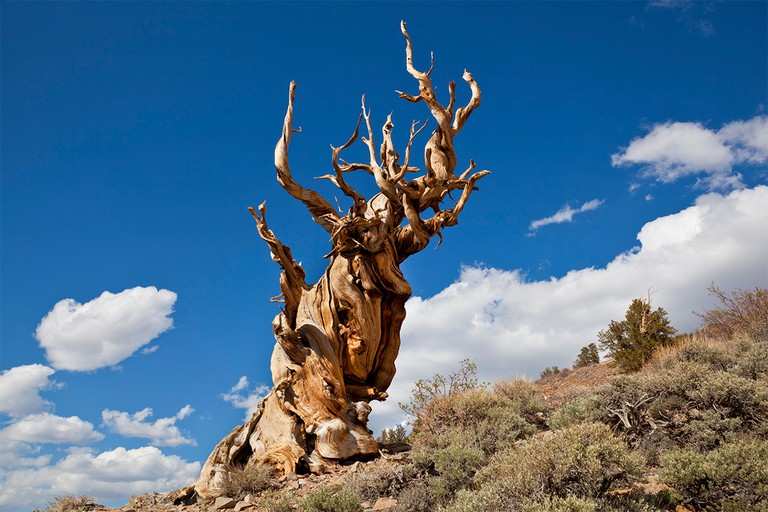 The Ancient bristlecone pine Forest Inyo national Forest California USA United States of America