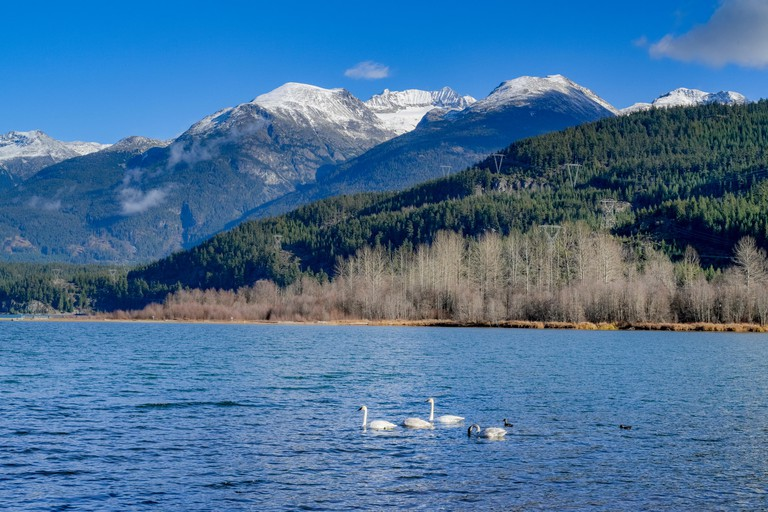 Trumpeter swans, Green Lake, Whistler, British Columbia, Canada