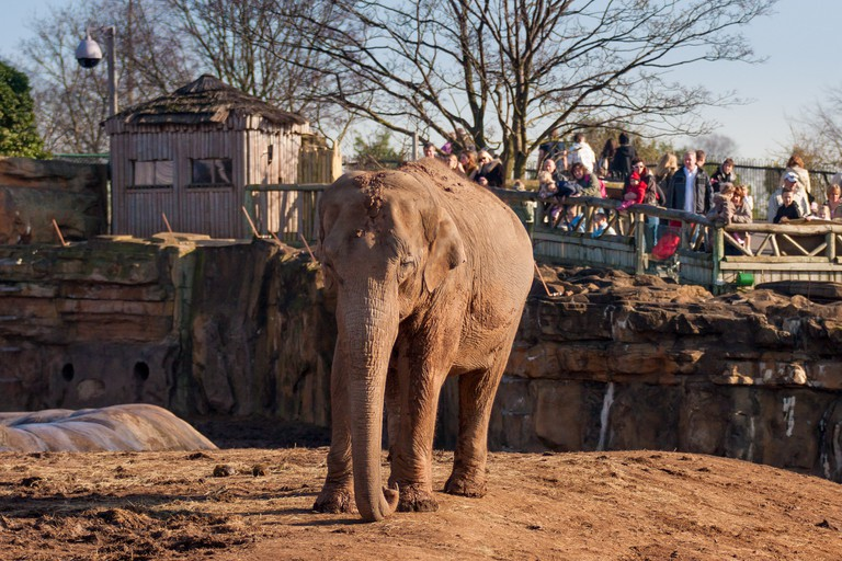 Elephant at Chester Zoo