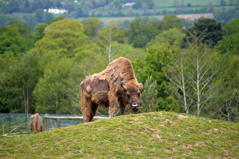 European Bison in fota wildlife park